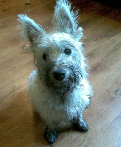 Muddy dog that was white - once!