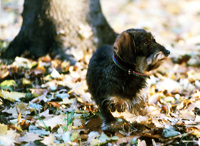 Dog walking in autumn leaves