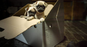 Pugs are very popular but can have serious health issues. Never buy from an unregistered breeder!